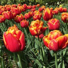 Visita a Keukenhof o parque das tulipas na Holanda.