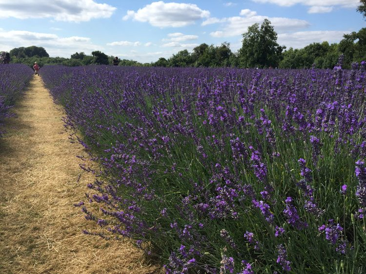 campo-de-lavanda-londres-mayfield