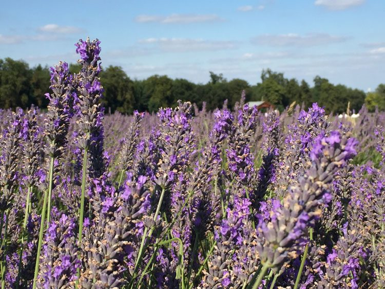 lavanda-mayfield-uk