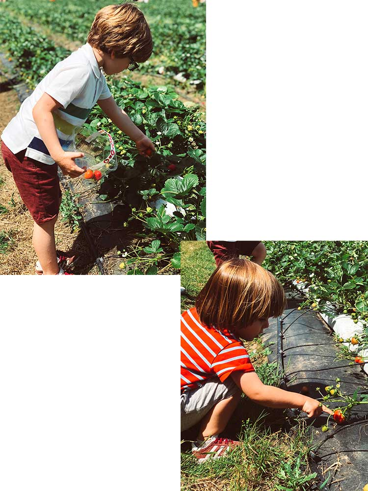 meninos-colhendo-morangos
